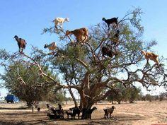 Goats in argon tree