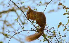 Red Squirrel Red Squirrel balancing in the trees in my garden