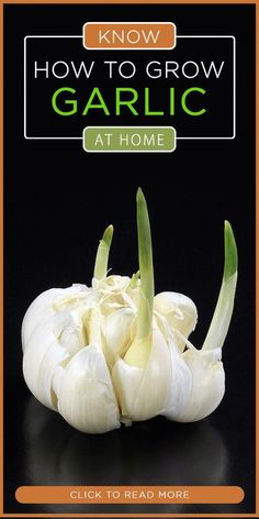 How To Grow An Endless Supply Of Garlic Indoors Growing garlic, Garlic garden, Grow garlic indoors, Indoor Vegetable Gardening, Home Vegetable Garden, Hydroponic Gardening, Organic Gardening, Container Gardening, Succulent Gardening, Organic Plants, Gardening For Beginners, Gardening Tips