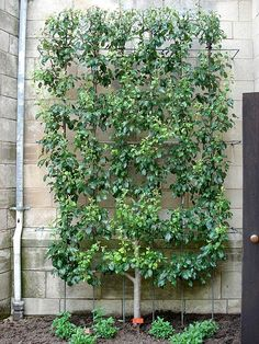 Espalier - awesome design and functional - just got an idea for the fruit trees I have no room for :)