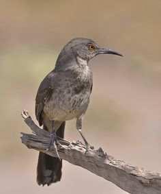 Long-billed Thrasher by Luis Jaime Leal, via 500px