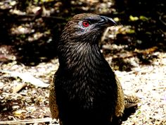 Pheasant Coucal - Nerang, Gold Coast Hinterland, Queensland, Australia Pheasant, Wild Birds, Wildlife, Queensland Australia, Gold Coast, Xmas, Facebook, Live, Photos
