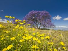 jacaranda-tree-in-bloom-in-a-field-of-wildflowers-jacaranda-mimosifolia-maui-hawaii.jpg