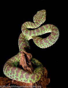 Cryptelytrops venustus - Beautiful pitviper by Michael Kern Kinds Of Snakes, Types Of Snake, Pretty Snakes, Beautiful Snakes, Snake Turtle, Colorful Snakes, Pit Viper, Snake Venom, Snake Art
