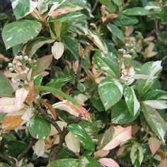 Photinia 'Palette'