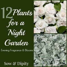 Let your garden glow at night by planting white flowers like Hibiscus White Chiffon and Hydrangea Aborescens. Sow & Dipity shares 12 perfect garden plants for night.