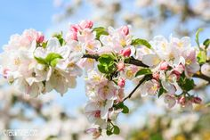 Apple Blossoms - Stromberg, Knittlingen, Germany