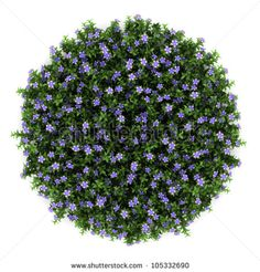 top view of dwarf periwinkle flowers isolated on white background