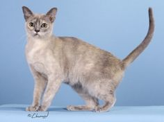 European Burmese ~ The European Burmese is an elegant, but not a fragile cat. It is medium sized & muscular. They love people, are highly intelligent, affectionate & loyal. They like the companionship of another cat or dog, however they'll also live quite happily as the only pet.