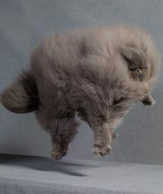 fluffy fat cat:チョウアグレッシヴだな。