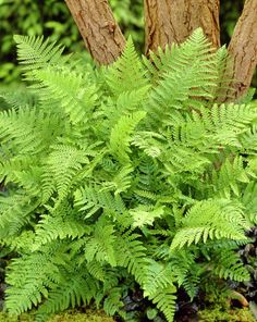 Polystichum setiferum - lime green when it first opens out in spring Lovely fern for texture in the driveway beds