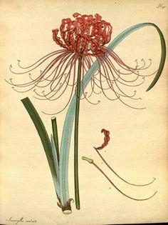 Lycoris radiata (L'Hérit.) Herb. [as Amaryllis radiata L'Hérit.]. The botanist's repository [H.C. Andrews], vol. 2