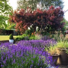 The 8 best perfect-for-privacy garden trees - The Middle-Sized Garden Cotinus coggyria 'Grace' is usually grown as a shrub, but it we have pruned it into a tree shape. We also got good black-leafed pr Small Garden Trees For Privacy, Shrubs For Privacy, Privacy Trees, Backyard Trees, Garden Privacy, Garden Shrubs, Garden Planters, Backyard Landscaping, Lawn And Garden