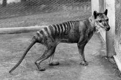 Tigre-da-tasmânia (Thylacinus cynocephalus)O tigre-da-tasmânia era um marsupial (mesmo grupo dos cangurus) que vivia na Austrália, Nova Guiné e Tasmânia até a década de 1930. A perda de habitat e a introdução de cães domésticos ajudaram na diminuição da população. Biólogos, porém, apontam para a caça por fazendeiros, que visavam proteger seu rebanho, como a principal causa da extinção dos animais.