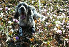 Spring time!  Foto di: @pola_the_english_setter  #BauSocial There are no bad days ... when You come home to a dog  #dog #dog #puppy #pup #TagsForLikes #cute #eyes #instagood #dogs_of_instagram #pet #pets #animal #animals #petstagram #petsagram #dogsitting #photooftheday #dogsofinstagram #ilovemydog #instagramdogs #nature #doggy #dogoftheday #lovedogs #lovepuppies #hound @rromanogiulia attendo il mio Gino qui...