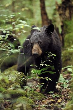 Smoky Mountain wildlife - This is a beautiful black bear. Have you seen one in… Beautiful Creatures, Animals Beautiful, Animals And Pets, Cute Animals, Nature Animals, Mountain Pictures, Love Bear, Walk In The Woods, Mundo Animal