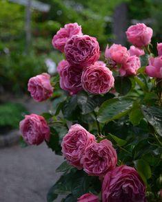 Leonard Da Vinci blommar från juni till långt in på hösten. Zon 1-4. Jag sprayar mina rosor med Tricogarden för att få ha dem ifred här på Öland. Bladlössen sprutar jag bort med stark stråle från vattenslangen.Dock svag doft..men jag har andra sorter som sprider sötma i trädgården. #öland #rosleonardodavinci