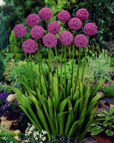 Organic Gardening Supplies Needed For Newbies Allium Aflatunense Persischer Lauch Allium Flowers, Flowers Perennials, Garden Bulbs, Garden Plants, Backyard Vegetable Gardens, Outdoor Gardens, Burford Garden Company, Flower Bed Designs, Cactus Plante