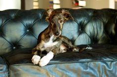 Silken Windhound Stanley - Such a handsome boy!