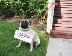 No pug this cute should ever have to suffer this humiliation.