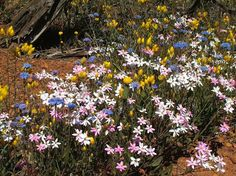australia wildflowers   Western Australian Wildflowers