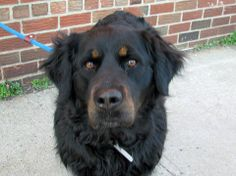 URGENT - Brooklyn Center    CHLOE - A0995618  SPAYED FEMALE, BLACK, LABRADOR RETR / ROTTWEILER, 4 yrs  OWNER SUR - EVALUATE, HOLD RELEASED Reason DIVBREAKUP   Intake condition NONE Intake Date 04/03/2014, From NY 11205, DueOut Date 04/03/2014  Main Thread: https://www.facebook.com/photo.php?fbid=781860525160162&set=a.617941078218775.1073741869.152876678058553&type=3&theater