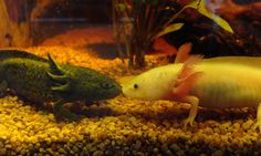 axolote so freakish but cute! Like I said before once I get one and another one they will be together for ever <3 <4