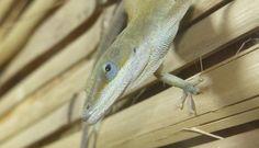 anolis - lezard reptile zoo spay