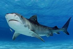 Tiger Shark Galeocerdo cuvier in shallow water  #animal #tiger #shark #galeocerdo #cuvier #shallow #water #photography