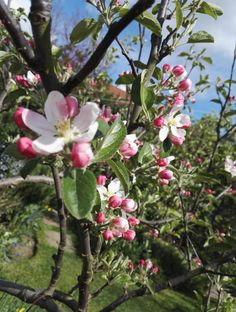 Bramley apple blossom