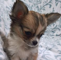 Ready for her new home now at 9 weeks old, This adorable Chihuahua baby girl is from show quality lines. She has a cream/fawn sable long coat. Long Haired Chihuahua Puppies, Teacup Chihuahua Puppies, Cute Chihuahua, Puppies And Kitties, Baby Puppies, Cute Puppies, Pet Dogs, Doggies, Cute Baby Animals
