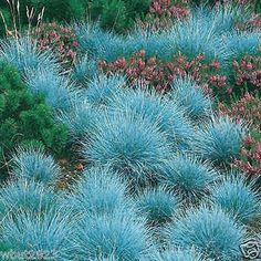 100 pcs Easy Growing Blue Fescue Grass Seeds - (Festuca glauca) Very Beautiful Indoor Grass seed AA Fescue Grass Seed, Blue Fescue, Pampas Grass, Perennial Grasses, Drought Tolerant Landscape, Perennial Plant, Evergreen Groundcover, Shade Perennials, Xeriscaping