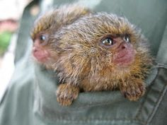 These Pygmies Marmosets Callithrix pygmaea-- is a tenderness, are not they? Know what is the smallest monkey in the world? So small that they fit in a shirt pocket. Amazon / Colombia.