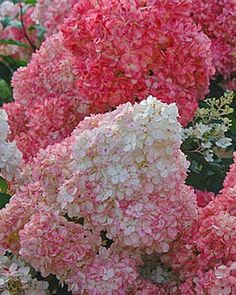 Vanilla Strawberry Hydrangea Pinned By Cindy Vermeulen Please Check Out My