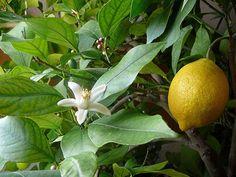 ★★★ Как приятно вырастить своими руками цитрусовое дерево в домашних условиях, например, комнатный лимон! Он представляет собой красивое деревце с блестящими, продолговатыми и ярко-зелеными листьями. Распустившейся цветы белого или кремового цвета наполняют комнату незабываемым ароматом. Так как же правильно выращивать комна�