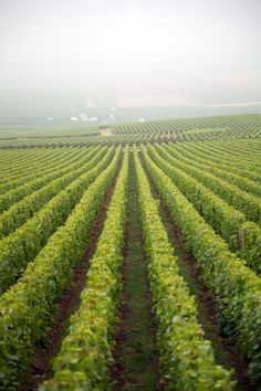 Rows of grapes in the vineyards                Vineyard,   Veuve Clicquot,   Grapes