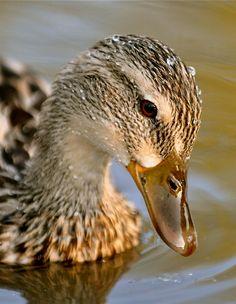Female Mallard (Anas platyrhynchos) and Duck's eggs Canard Colvert, Pet Ducks, Kinds Of Birds, Bird Pictures, Mallard, Fine Art Photo, Bird Watching, Cute Baby Animals, Spirit Animal