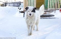 A hero dog, pictured, kept a two-year old-boy alive for two days after the child was aband...