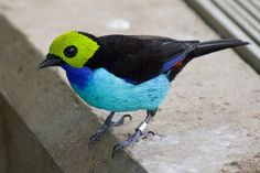 Paradise Tanager by fullspectrumphoto, via Flickr  Isn't Mother Nature such an artist?
