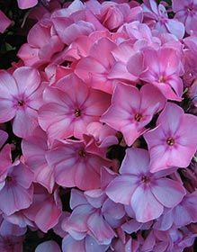 Phlox paniculata 'Barnwell' - Sommer-Phlox