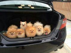 Pomeranian lugguage #Pomeranians #dogs #pets Facebook.com/sodoggonefunny