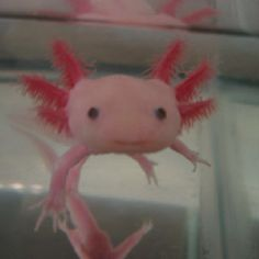 Rare animal found in a Mexican lake. Reminds me of a cross between an aquatic Hello Kitty and a pink lollipop.