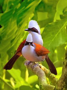 WHITE CRESTED LAUGHINGTHRUSH....a highly social and vocal bird found in forest and scrub from the Himalayan foothills to Southeast Asia....averages 11.5-12 inches long with a 5-6 inch tail