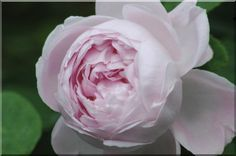 Rose 'Princesse of Wales', 1871