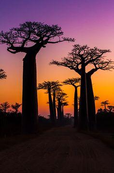 Esperando pelo sol. Avenida dos Baobás em Madagascar.  Fotografia: IamNotUnique no Flickr.  https://www.buzzfeed.com/ariellecalderon/enchanting-tree-tunnels-you-need-to-walk-through?bfpi&utm_term=.qf5wD5K35#.re4OkZW4Z
