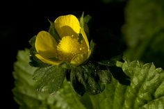Indian strawberry flower