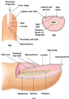 Anatomy of the nail beauty pinterest anatomy nail tech and anatomy of the nail ccuart Images