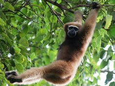 Selbagre Hoolock Gibbon Reserve in Meghalaya, India
