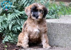 Puppy Finder: Find & Buy a Dog today by using our Petfinder Baby Puppies For Sale, Poodle Mix Puppies, Puppy Finder, Buy A Dog, Design Development, Cute Babies, Dog Lovers, Dogs, Animals