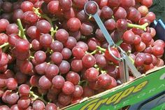 Benefits of Red Grapes:  1. Anti-aging:  The skin and seeds of red grapes contains resveratrol that controls the ageing process. Resveratrol is a strong antioxidant that helps to maintain the health of the skin.